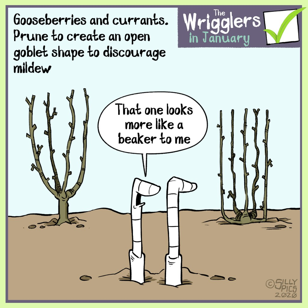 Cartoon about Pruning gooseberries and currants to a goblet shape