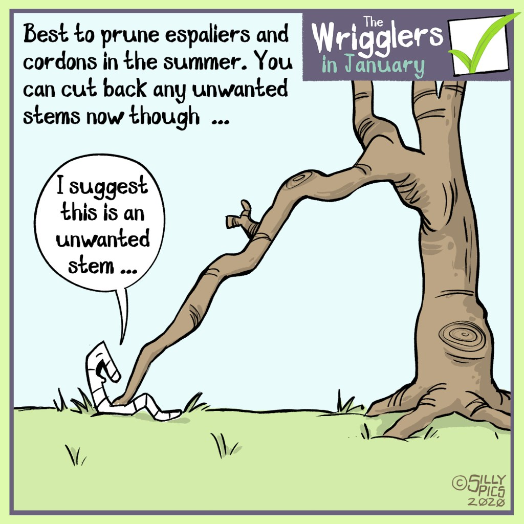 cartoon on cutting back espalier and cordons, best to prune in summer