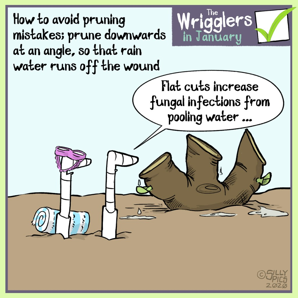 Cartoon about pruning at an angle to prevent water sitting in the cuts and damaging the plants