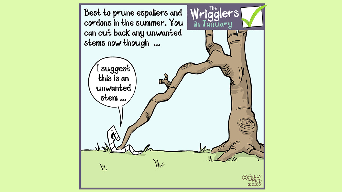 cartoon on pruning cordon and espaliers in the winter, basically wait till summer