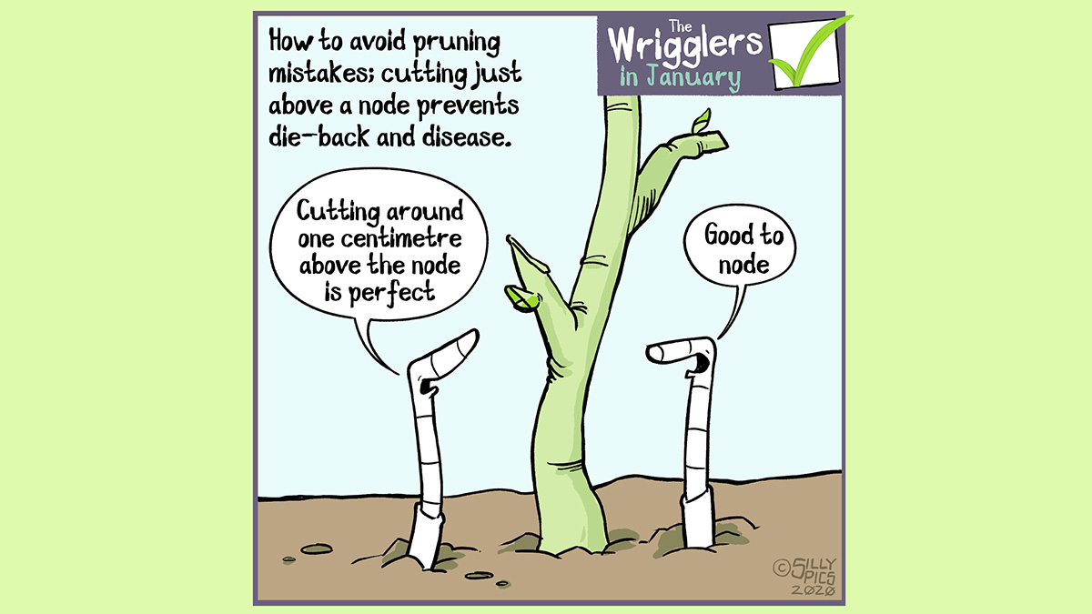 Cartoon about pruning above a bud, keeping to roughly 1 centimetre – avoid die-back and canker, rot etc.