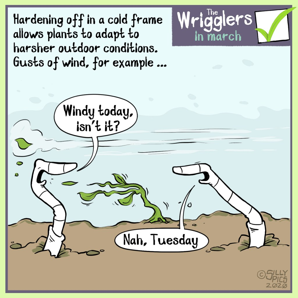 """The cartoon starts with a fact in the top left corner, it reads, """"Hardening off plants in a coldframe helps them acclimatise to outdoor conditions, Gust of wind for example"""".  Cartoon showing Two worms outside in the soil, it is windy and a small seedling planted out is getting destroyed by the wind. One worm says to the other, windy today isn't it? """" The other worm replies, """"no, Tuesday."""""""