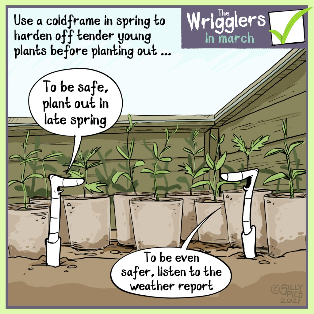 """Cartoon about planting out you seedlings from a cold frame in late spring. Two worms in a cold frame discussing when to plant out the young plants. One worm says to the other:""""To be safe, best to plant out in late spring."""" The other worm says, """"To be even safer, listen to the weather report."""""""