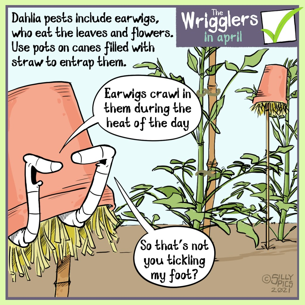 """A cartoon about growing dahlias. This cartoon shows two worms in a straw filled pot, upside down on a pole. The worms are both in the pot. The copy reads: Dahlia pests include earwigs, who eat the leaves and flowers. Use pots on canes filled with straw to entrap them.  One worm says to the worm under the flower"""" Earwigs crawl in the them, in the heat of the day"""" ..."""" The other worm says, """"So that's not you tickling my foot?"""""""