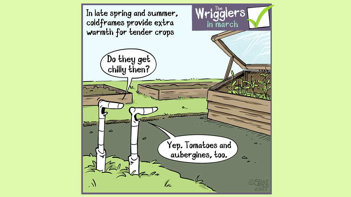 """Cartoon about cold frames being used after the spring hardening off period, and used in the summer on other tender crops to help increase yields. Two worms are looking at a cold frame with some crops in it. One worm says, """" Do they get chilly then?"""" The other worm, misunderstanding the question, says"""" Yes, Aubergines and tomatoes, too."""""""