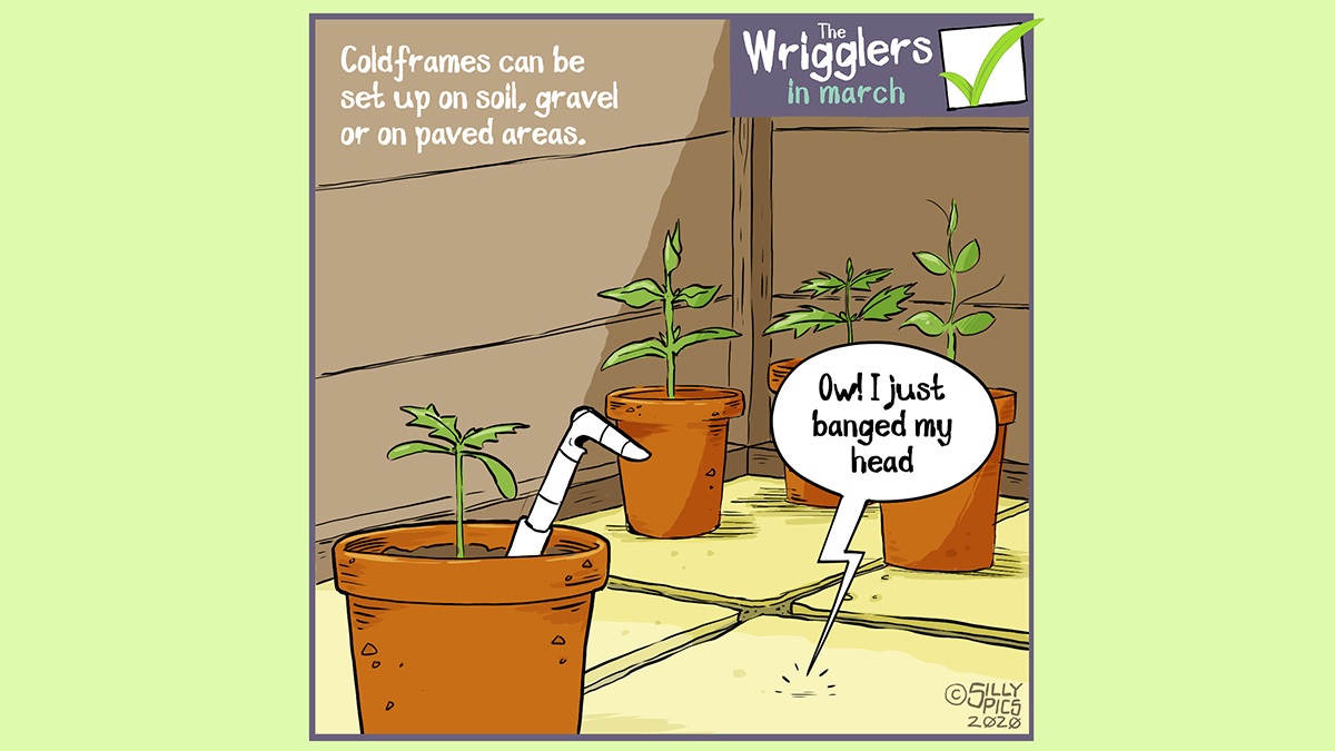 """Cartoon image from the wrigglers. The cartoon is of a worm in a cold frame, the floor of the cold frame is paving slabs – the text reads, Coldframes can be located on soil, grass and concrete. There is a speech bubble coming from under the concrete paving slabs, it say: """"Ow! I banged my head"""""""