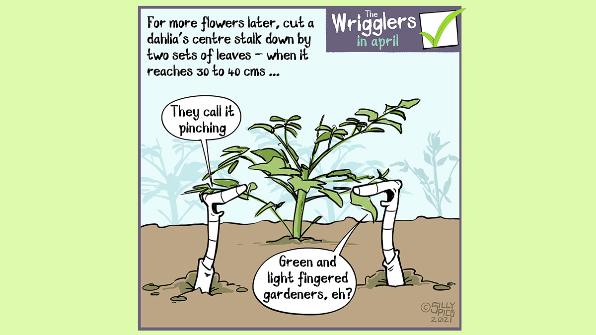 "A cartoon about growing dahlias. This cartoon shows two worms in a border with an area planted with dahlia tuber. The tuber has been pinched out. The copy reads: For more flowers later, cut a dahlia's centre stalk down by two sets of leaves - when it reaches 30 to 40 cms ... One worm says to the other worm"" They call it pinching the plant"" The other worm says, ""Green and light fingered gardeners, eh!?"""