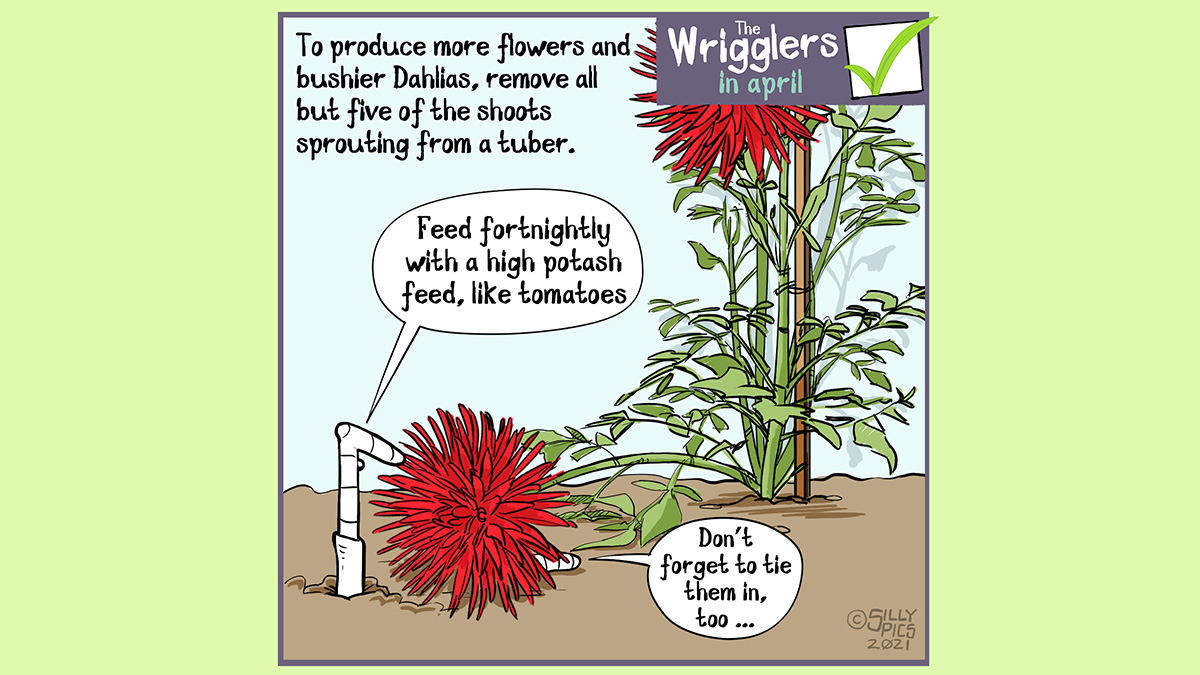"""A cartoon about growing dahlias. This cartoon shows two worms in a border with a dahlia plant. On elf the flowers has fallen over and is lying on top of one of the worms.. The copy reads: To produce more flowers and bushier Dahlias' remove all but five of the shoots sprouting from a tuber. One worm says to the worm under the flower"""" Feed fortnightly with a high potash feed, like tomatoes"""" The other worm says, """"Don't forget to tie them in too"""""""