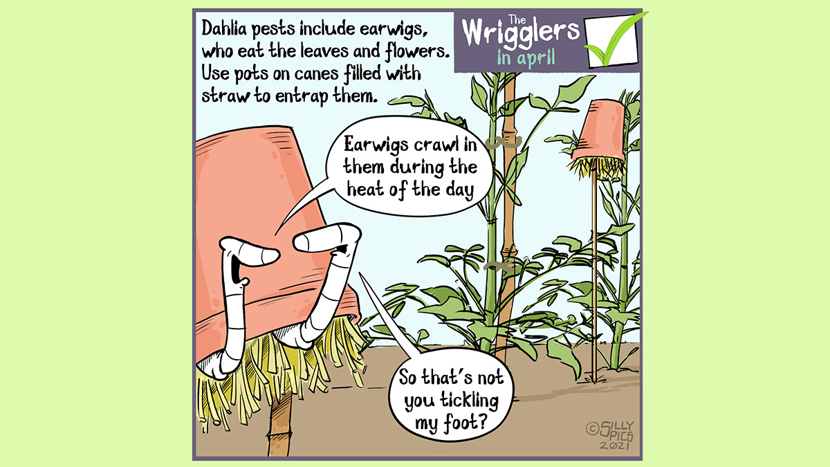 "A cartoon about growing dahlias. This cartoon shows two worms in a straw filled pot, upside down on a pole. The worms are both in the pot. The copy reads: Dahlia pests include earwigs, who eat the leaves and flowers. Use pots on canes filled with straw to entrap them. One worm says to the worm under the flower"" Earwigs crawl in the them, in the heat of the day"" ..."" The other worm says, ""So that's not you tickling my foot?"""