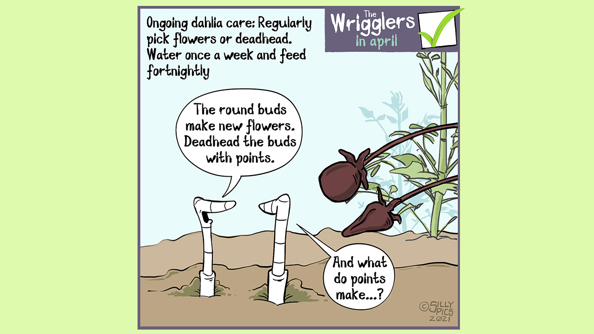 "A cartoon about growing dahlias. This cartoon shows two worms iin the soil looking at dahlia shoots. One os rounded, the other is pointed. The text on the cartoon reads, 'Ongoing dahlia care: Regularly pick flowers or deadhead. Water once a week and feed fortnightly/' Looking at the stems One worm says"" The round buds make new flowers. Deadhead the buds with points.."" The other worm says, ""And what do points make?"""