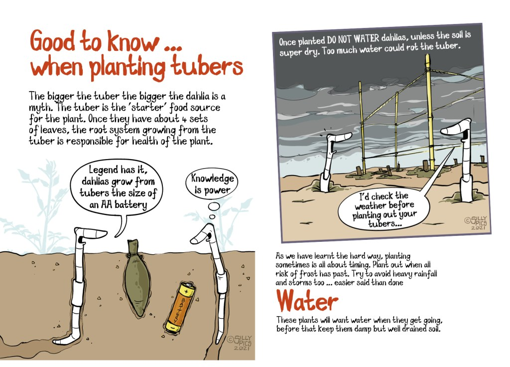 This is a double page spread of a pdf on dahlias. This page highlights some good to knows. You can plant tubers from the size of an AA battery, to don't plant out if heavy rain is forecast, tubers will rot if sat in water