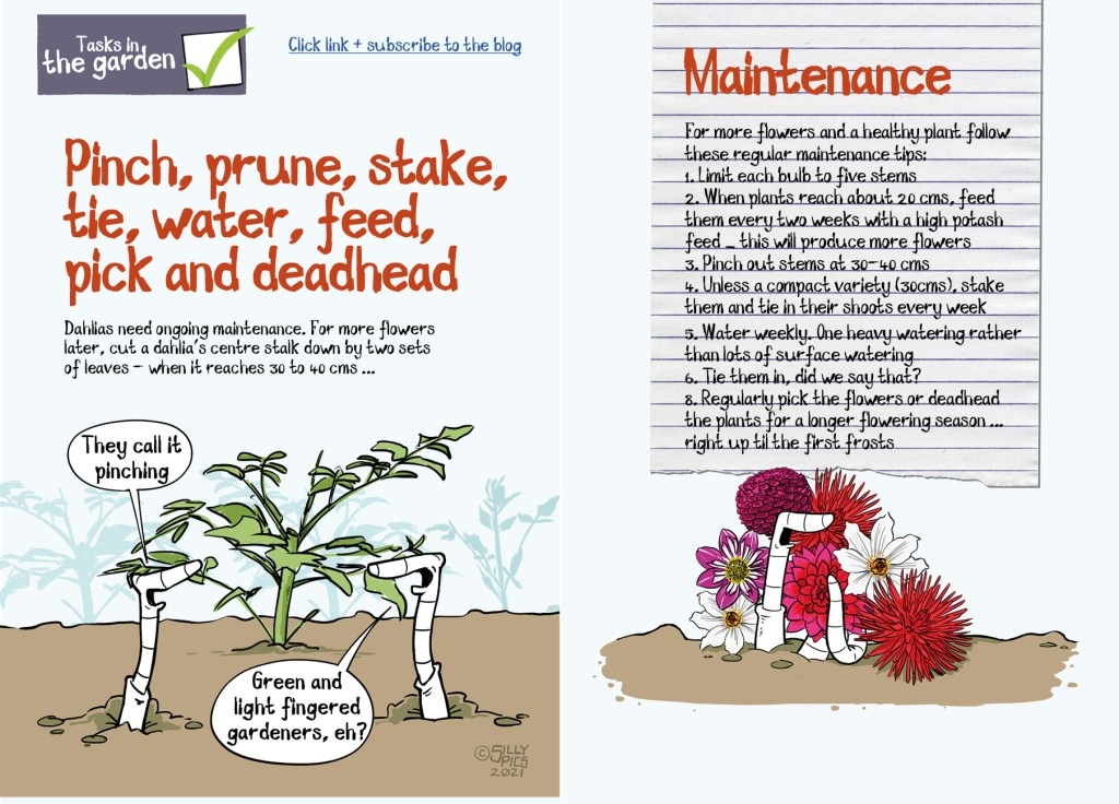 This is a double page spread  of a  pdf on dahlias. This page talks about maintenance care - For more flowers and a healthy plant follow these regular maintenance tips: 1. Limit each bulb to five stems 2. When plants reach about 20 cms' feed them every two weeks with a high potash feed – this will produce more flowers 3. Pinch out stems at 30-40 cms 4. Unless a compact variety (30cms)' stake them and tie in their shoots every week 5. Water weekly. One heavy watering rather than lots of surface watering 6. Tie them in' did we say that? 8. Regularly pick the flowers or deadhead the plants for a longer flowering season ... right up til the first frosts