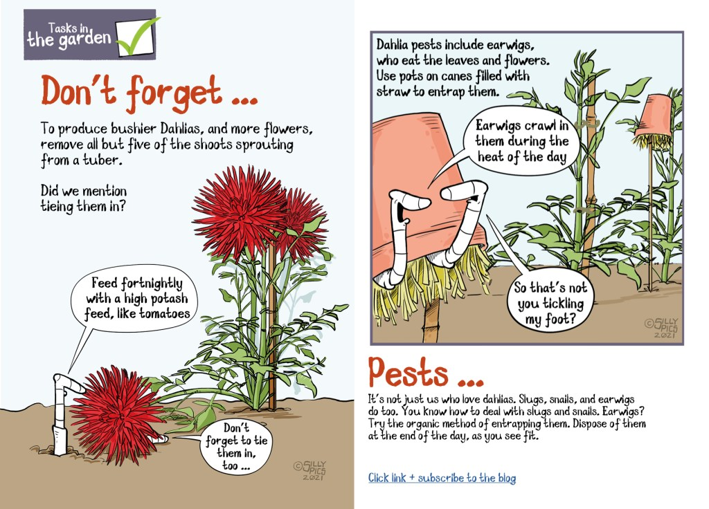 This is a double page spread from a pdf about growing dahlias. It summarises the pdf, don't forget To produce bushier Dahlias' and more flowers' remove all but five of the shoots sprouting from a tuber. It finishes with a section and cartoon on pests, especially earwigs