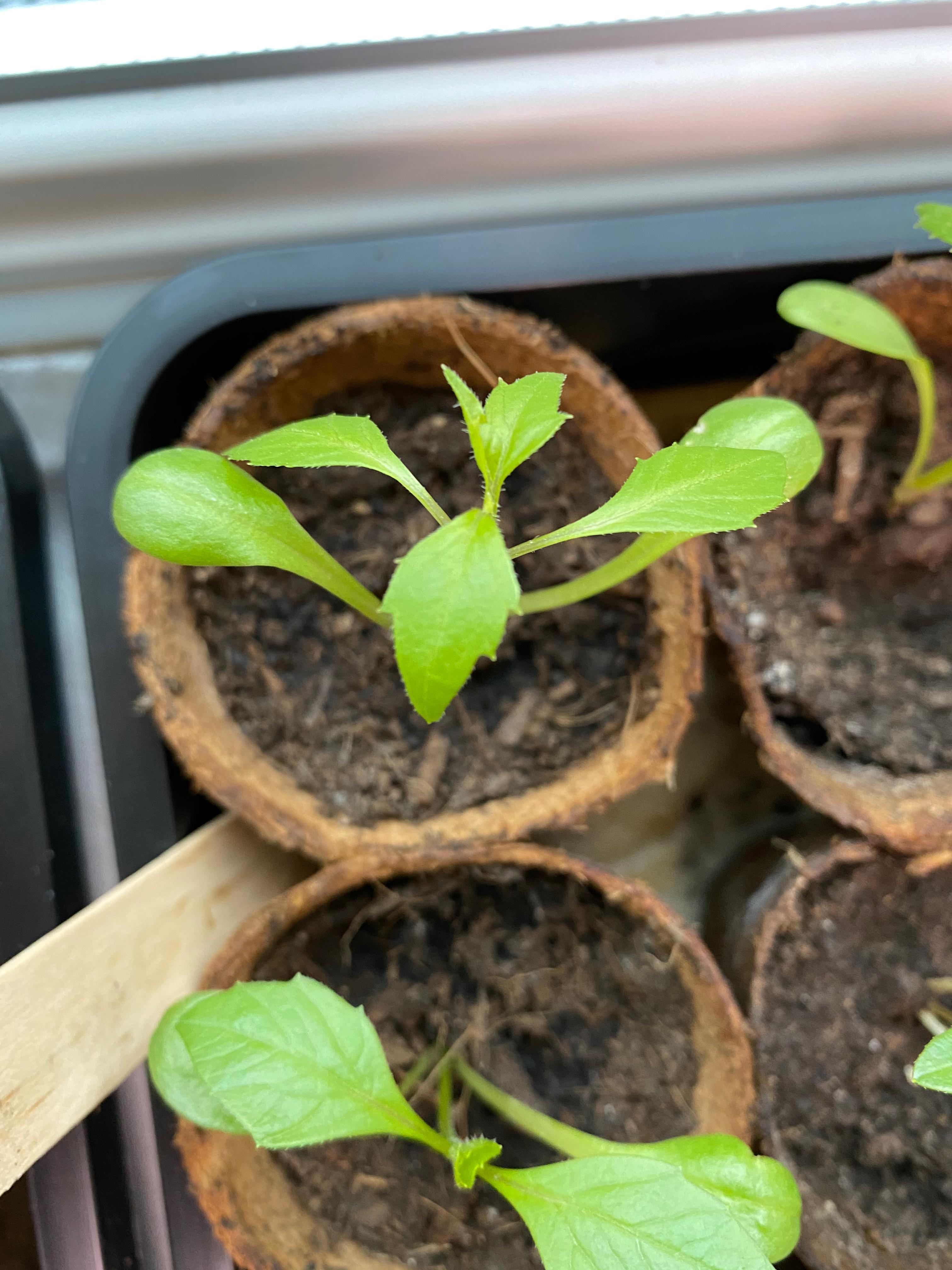 Dahlia seed progess