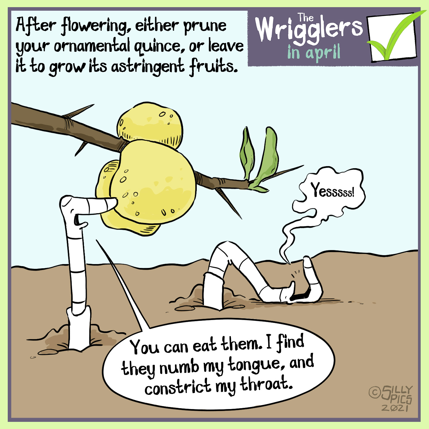 """After flowering either prune or leave your ornamental quince to grow its astringent fruits. In this cartoon two worms are looking at ornamental quince fruits on a branch at ground level. One worm explains, """"you can eat them, but I find they numb my tongue and contract my throat"""" The other worm is lying on its back with its mouth wide ope, it just says,""""yeeessss"""""""