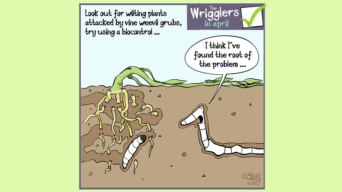 """Look out for wilting plants in the garden. These could be signs of being attacked by vine weevil grubs, you can combat this by using biocontrol. This cartoon shows a vine weevil grub under the soil with a worm, the grub has eaten through the roots of the plant, which is wilted on the surface. The worm says, """" I think I've found the root of the problem"""""""