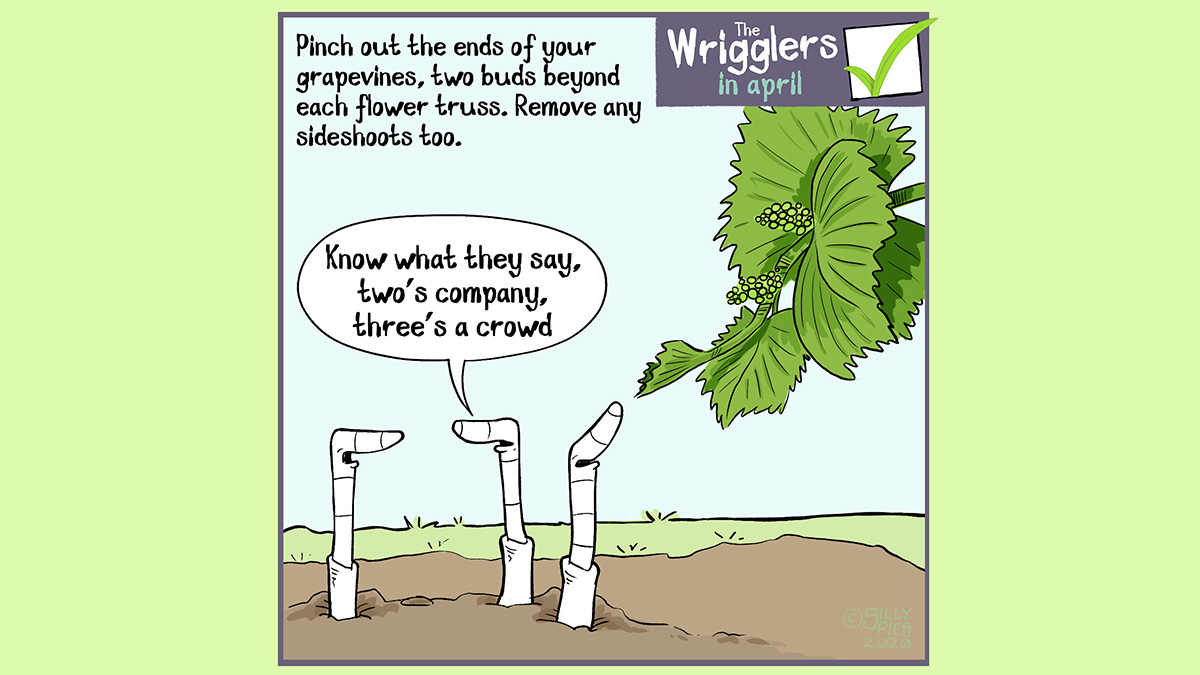 "April's the time to pinch out your grapevines to two buds beyond each flower truss. This cartoon show three worms looking at a grapevine with a flower truss. One worm turns the worm at the back and says, ""you know what they say, two's company, three's a crowd."""