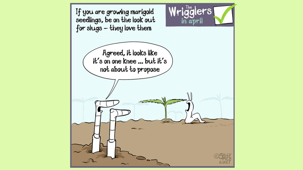 """If you are growing Marigold seedlings, be on the look out for slugs and snails, they love them. This cartoon shows two worms observing a slug about to munch on a marigold. One worm says to the other, """" Agreed, the slug looks like it's it's on one knee … but it's not about to propose."""""""