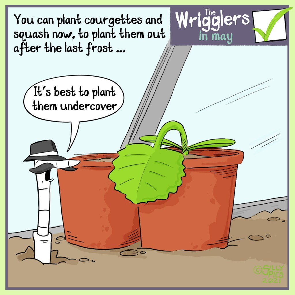 """The headline says, """"You can plant courgettes and Squash now, to plant them out after the last frost"""" The cartoon shows a worm with a detective hat and moustache  in the soil next to a courgette plant under glass cover. The worm says. """"It's best to plant them under cover."""""""