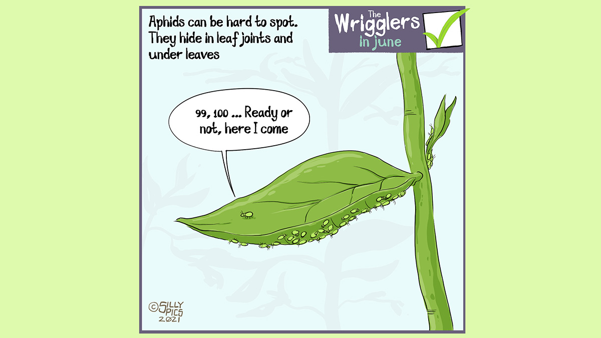 """The cartoon headline says, """"Aphids can be hard to spot. They hide in leaf joints and under leaves."""" The cartoon shows a lot of aphids hiding under a leaf. On the upper side of the leaf one aphid is standing up, it says, """" 99, 100 … ready or not here i come."""""""