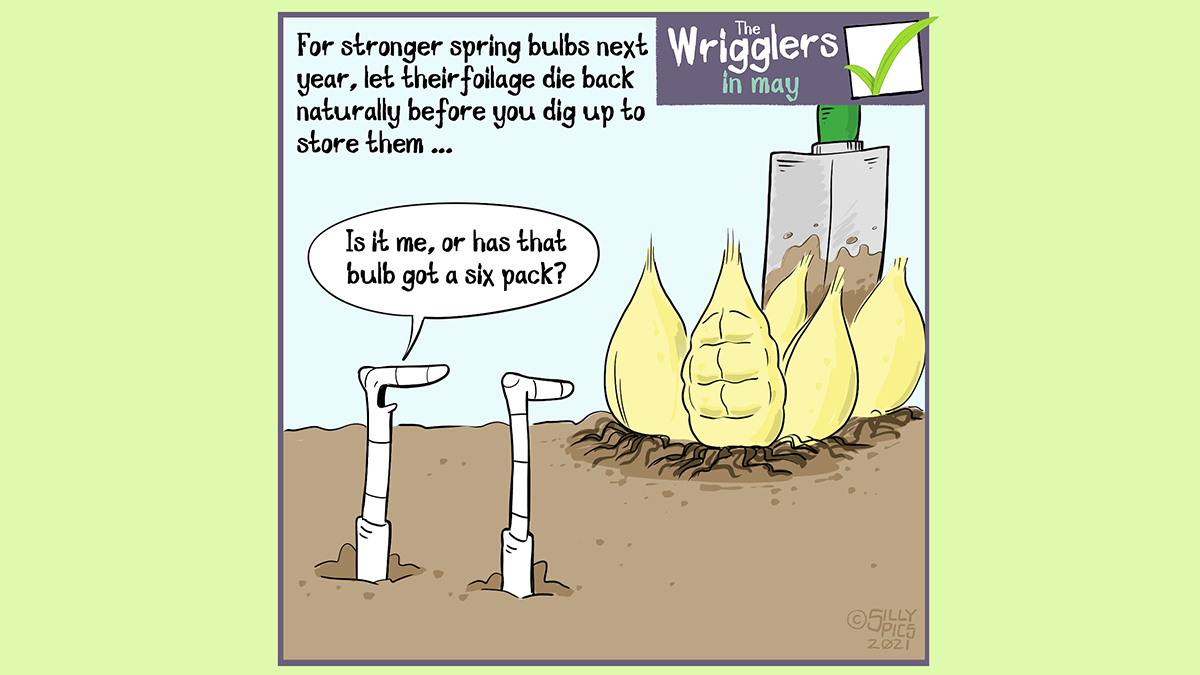 """The headline says, """" For stronger bulbs next year, let their foliage die back naturally before you dig up and store them …The cartoon shows two worms looking at some bulbs that have been dug up. One of the bulbs is rippled in what looks like muscle. One of the worms says, """"Is it me or has that bulb got a six pack?"""""""