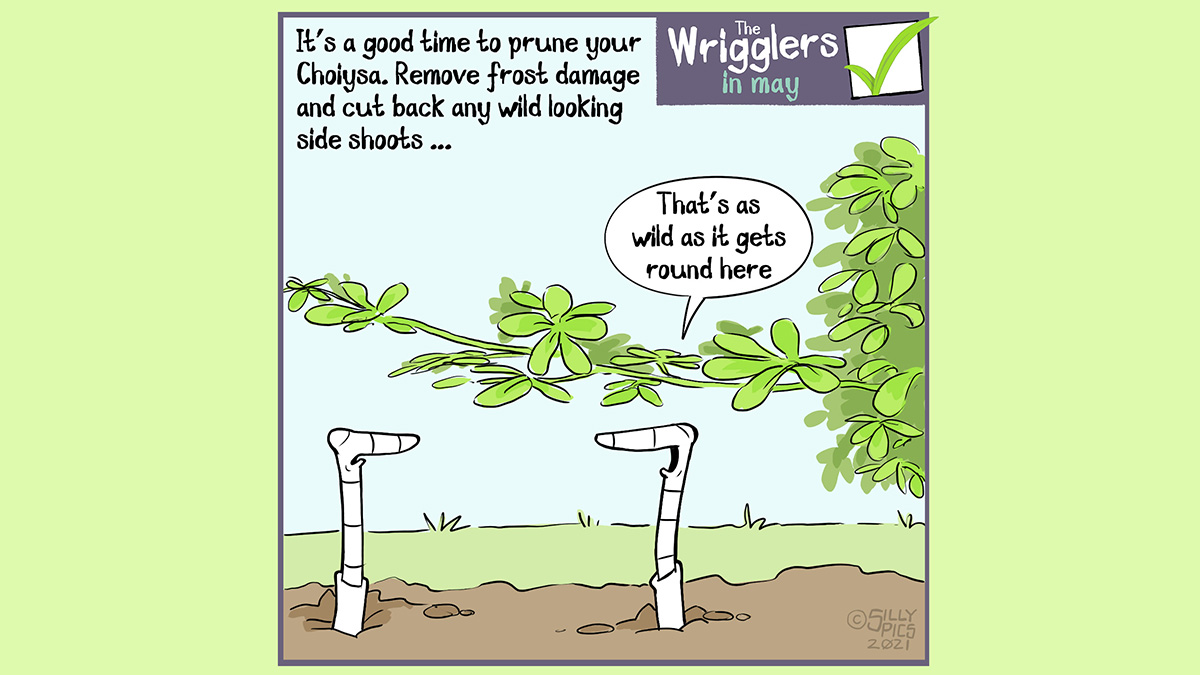 """The cartoon headline says, """"It's a good time to prune your Choiysa. Remove frost damage and cut back any wild looking side shoots …"""" The image is of two worms looking at a wild side shoot of a choiysa. One of the worms says o the other, """"That's as wild as it gets around here"""""""
