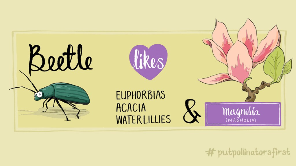 #putpollinatorsfirst poster showing the plants that beetles like to pollinate They like open flowers, where they can land I guess … plants like, Euphorbias, Acacias, Water lilies and Magnolias … Magnoliais an ancient genus. Appearing beforebeesevolved, the flowers are theorized to have evolved to encouragepollinationbybeetles.[1]To avoid damage from pollinating beetles, thecarpelsofMagnoliaflowers are extremely tough.[2]Fossilizedspecimens of plants identifiably belonging to the Magnoliaceae (mag-no-li-aysee) date to 95 million years ago