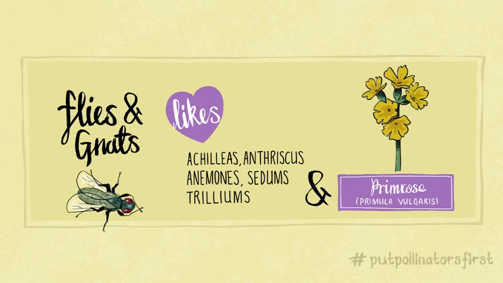 This is an image of of plants that pollinators like flies and gnats like. #putpollinatorsfirst  #drawinga poster of which pollinating insects like which plant – here are a few of the plants flies and gnats like  #anthriscus#anemones#sedums#achilleas#trilliums- just some of the plants a fly#pollinates