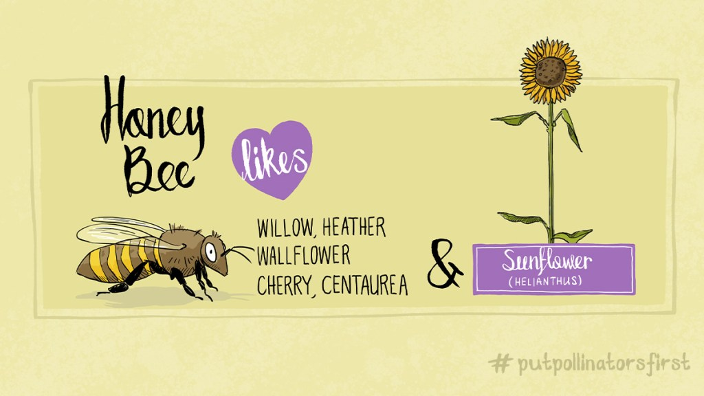 #drawinga poster of which pollinating insects like which plant – here are a few of the plants honey bees like  #willow #heather #wallflower #cherry #centaurea #sunflower- just some of the plants a honey bee#pollinates