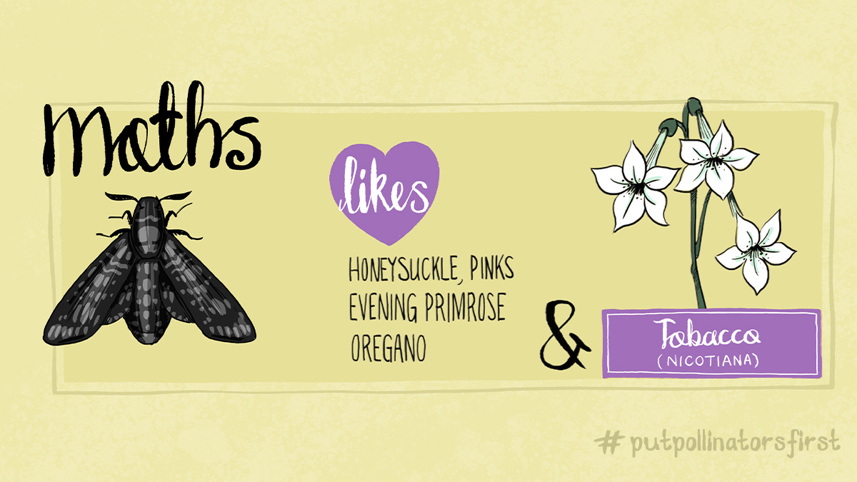 #drawinga poster of which pollinating insects like which plant – here are a few of the plants moths like: #honeysuckle pinks #eveningprimrose #oregano #tobacco