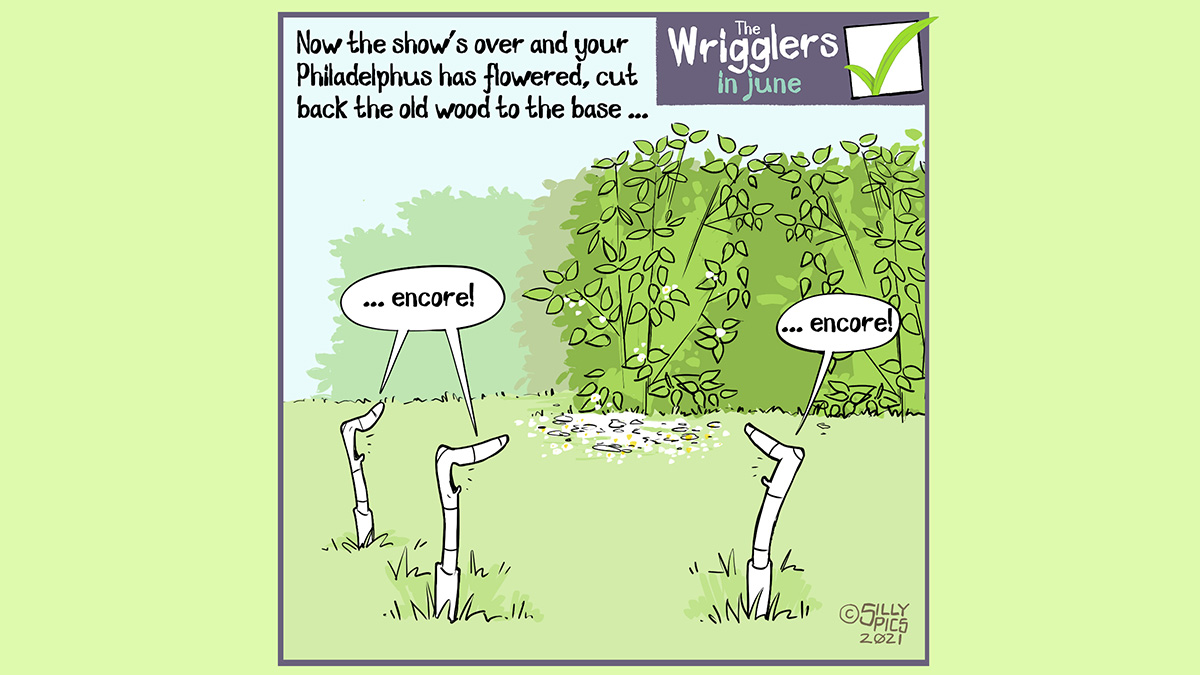 """The cartoon reads, Now the show's over and your Philadelphus has flowered, cut back the old wood to the base … In this cartoon we see a few worms in the grass looking at a philapdelphus bush which has just lost/dropped its flowers. The worms are all cheering: """"… encore …."""""""