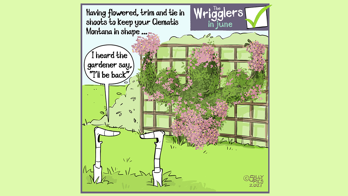 """The cartoon reads, Having flowered, trim and tie in shoots to keep your Clematis Montana in shape … In this cartoon we two worms in front of a Clematis shaped bush … it looks like the top half of a body builder flexing its muscles. One worm says to the other worm, """" I heard the gardener say, I'll be back"""""""