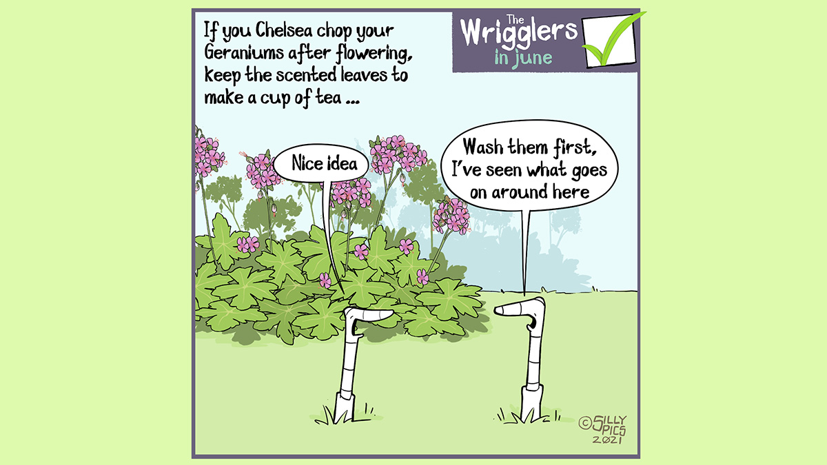 """The cartoon reads, If you Chelsea chop your Geraniums after flowering, keep the scented leaves to make a cup of tea The cartoon is of two worms in front of a geranium in flower. One one says, """" Nice idea …"""" The other work says, """"Wash them first, I've seen what goes on around here."""""""