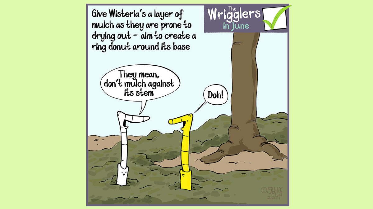 """The cartoon reads, Give Wisteria's a layer of mulch as they are prone to drying out. aim to create a ring donut around its base The cartoon is of two worms sitting in a ring of mulch around the base of a wisteria. One worm says, """" They mean don't mulch against its stem"""" The other worm, yellow, says, """"doh!"""""""