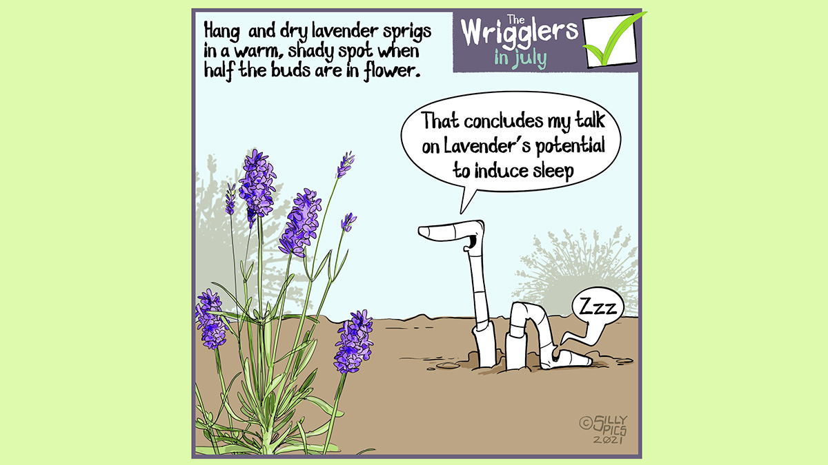 """Above the wrigglers gardening cartoon it reads: Hang and dry lavender sprigs in a warm, shady spot when half the buds are in flower... The cartoon depicts two worms in front of a lavender plant. One worm is talking, the other worm has fallen asleep and is snoring The awake worm says to the other worm, """"That concludes my talk on Lavender's potential to induce sleep"""""""