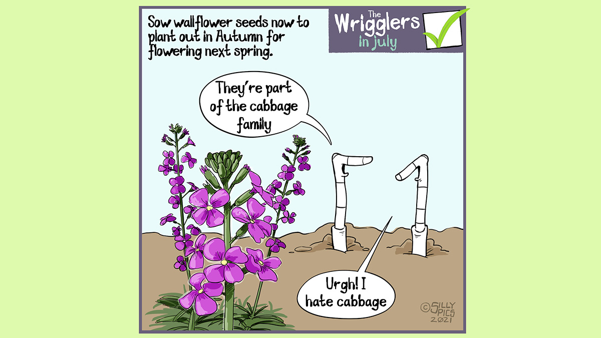"""Above the wrigglers gardening cartoon it reads: Sow wallflower seeds now to plant out next autumn, for flowering next spring... The cartoon depicts two worms standing in front of a wallflower plant. One worm says, """"They're a aprt of the cabbage family"""" The other worm looks on, it says """"Urgh! I hate cabbage"""""""
