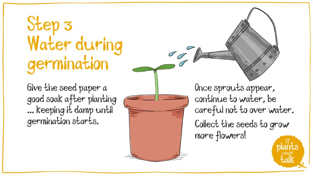 Step 3 having planted your wild flower seed paper keep it watered, damp to ensure germination. Once germinated keep the seedlings waterd, ensure to not over water